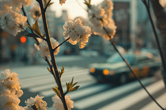 🌸 (Laser Kola) Tags: streetphotography street streetphoto taxi sakura cherryblossom hanami さくら 桜 tokyo japan ueno 東京都 上野 urban city citylife canon canon5dmkii 35mm ef35mmf2 prime primelens streetclassics laserkola lasseerkola somewhereintokyo exploring exploringthecity streetview streetshared 2018 cybervibe spring golden hour goldenhour cinematic fullframe warm leaves bokeh smoothbokeh bokehlicious shallowdepthoffield
