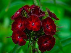 Dianthus barbatus flowers (frankmh) Tags: plant flower macro sofiero helsingborg skåne sweden