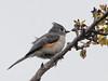 Rufted Titmouse (Laura Erickson) Tags: paridae tuftedtitmouse damariscottariverassociation lincolncounty birds species maine places passeriformes baeolophusbicolor events joyofbirding2018