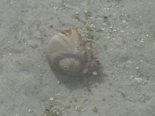 Hermit Crab (Superfamily Paguroidea) Inside a Moon Snail (Family Naticidae)