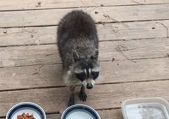 Raccoon on my Deck (Stabbur's Master) Tags: raccoon