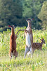 Hoof Bump (dngovoni) Tags: bigmeadows shenandoah action deer doe spring sunrise wildlife syria virginia unitedstates us