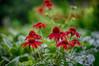 echinacea (kderricotte) Tags: echinacea flower plant outdoor sony sonya7ii helios helios44m458mmf2 bokeh depthoffield