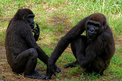 Israel (Hemo Kerem) Tags: israel telaviv street a7rm2 a7rii nikon200mmf4ai nikkor200mmf4ai ai200mmf4 ai4200 tlv 200mm manualfocus mf nikon nikkor sony sonya7rm2 ilce7rm2 alpha zoo apes gorilla