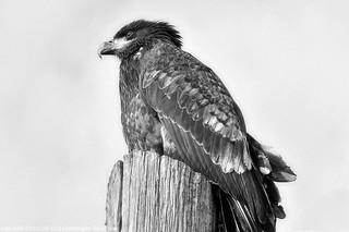 2011-01-26 Bald Eagle (02) (B&W) (1024x680)