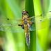 Vierfleck Libellula quadrimaculata 180526 084.jpg