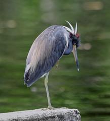 05-28-18-0020133 (Lake Worth) Tags: animal animals bird birds birdwatcher everglades southflorida feathers florida nature outdoor outdoors waterbirds wetlands wildlife wings