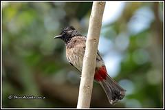 7910 - red vented bulbul (chandrasekaran a 50 lakhs views Thanks to all.) Tags: redventedbulbul bulbul birds nature india kerala wayanad canoneos6dmarkii tamronsp150600mmg2