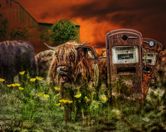 Gassed Up (Water to My Soul) Tags: cow highland gas pump field daisies sunflowers barn sunset sky farm orange green