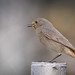 Mrs Black redstart