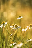 Kamille (airamatina) Tags: sommer sonne kamille feld blumen nikon d 750