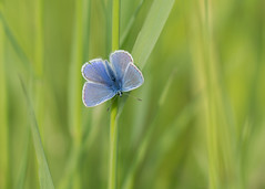 blue bliss (Emma Varley) Tags: butterfly commonblue male blue pretty dreamy delicate grass green insect bliss babies southdownsnationalpark