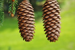 Two Spruce Cones (outdoorpict) Tags: spruce cones blue green needles sunshine spring hanging together