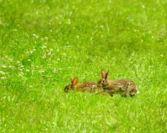 Rabbit-007 (TerraPuella) Tags: rabbit deer white tail tennessee wildlife spring