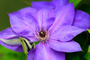Clematis (Tony Hochstetler) Tags: nikon nikon85mmf14 d800e kenko extensiontube clematis flower floral macro purple green