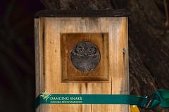 _45A9836 Screech Owlet ©Dancing Snake Nature Photography (Dancing Snake Nature Photography) Tags: arizona nature photography dancingsnakenaturephotography birds raptors owls screechowlet tucson