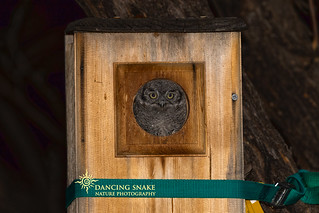 _45A9836 Screech Owlet ©Dancing Snake Nature Photography