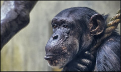 _SG_2018_01_0010_IMG_2918 (_SG_) Tags: schimpanse cheeta cheetah cheta chita chimp chimpanzee weiss white schwarzundweiss schwarzweiss blackwhite bw black schwarz zolli zoo zoobasel affenhaus geigyanlage augen blick gesicht portrait