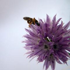 una impegnatissima impollinatrice (fotomie2009) Tags: flower fiore flora white pollination impollinazione erba cipollina allium pink insect insecta insetto schoenoprasum bee ape