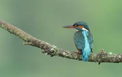 Martin-pêcheur (guiguid45) Tags: nature sauvage oiseaux bird loiret loire d810 nikon 500mmf4 alcédinidés martinpêcheur alcedoatthis coraciiformes affût commonkingfisher