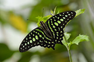 Tailed Jay Butterfly (Graphium agamemnon)