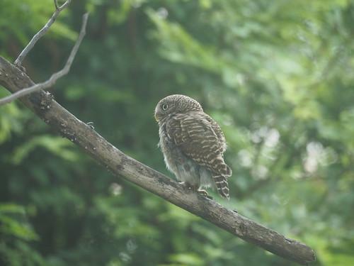 Asian Barred Owlet, Glaucidium cuculoides