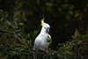 Passion Fruit Thief (- Jan van Dijk -) Tags: nature natuur kaketoe cockatoo sulphurcrested australia queensland vögel ucelli oiseau