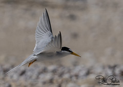 PipingPlover-Terns_Jun122018_0050 (Roni Chastain Photography) Tags: pipingploversterns birds protected longisland wildlife endangered chicks