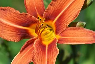 Orange daylilly 2