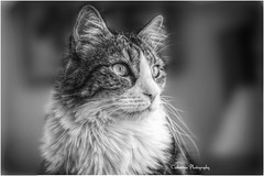 le chat (Une femme ...) Tags: cat kitten bw nb noirblanc black white