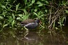 Moorhen (_J @BRX) Tags: moorhen goldenacrepark bramhope leeds yorkshire england uk june spring 2018 bird adeldam yorkshirewildlifetrust nature nikon d5200