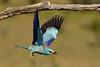 Carraca europea (Coracias garrulus). (David Andrade 77) Tags: carracaeuropea coraciasgarrulus aves pájaros fauna wildlife spain españa espagne castillalamancha naturaleza nature animal
