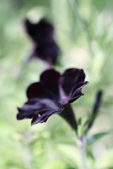 Good News (haberlea) Tags: garden petuniahappymagiccharcoalblack mygarden flowers black petunia plants nature