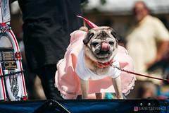 PugCrwal-149 (sweetrevenge12) Tags: portland oregon unitedstates us pug parade crawl brewing sony pugs dog pet