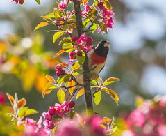 Backlit Grosbeak (John Kocijanski) Tags: bokeh hss rosebreastedgrosbeak animal wildlife nature flowers blossoms canon70300mmllens canon7d