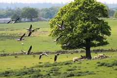 Greylag Geese Flypast (jdathebowler Thanks for 2 Million + views.) Tags: greylaggeese washburnvalley landscape northyorkshire nearotley fewston