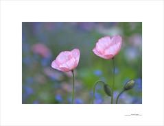 Flores de papel (E. Pardo) Tags: flores flowers blumen amapolas poppys mohnblumen primavera spring frühling colores farben colors luz licht light formas formen forms admont steiermark austria