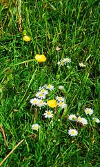 Buttercups and daisies: Spring on Minchinhampton Common (neil mp) Tags: cotswolds minchinhampton minchinhamptoncommon spring buttercups daisies grass landscape gloucestershire glos