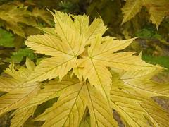 Acer (Cornishcarolin. Stupid busy!! xx) Tags: cornwall httpswwwnationaltrustorguktrelissick tree nature acer