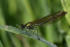 caloptéryx éclatant ( Calopteryx splendens ) Brech 180514j2 (papé alain) Tags: insectes odonates morbihan bretagne france zygoptères demoiselles caloptéryxéclatant calopteryxsplendens brech