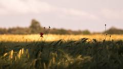 Summertime (ursulamller900) Tags: primotar35135 poppy mohn landscape landschaft kornfeld corn germany summer sommer