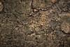 Cryptic Selenopid - Gorongosa National Park, Mozambique (Thomas Shahan 3) Tags: pentax gorongosa mozambique bugshot workshop africa k3 macro macrophotography vivitar 55mm teleconverter entomology arthropod wildlife