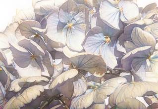 Last year's Hydrangea