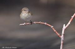 Luì piccolo _016 (Rolando CRINITI) Tags: luìpiccolo uccelli uccello ornitologia birds arenzano natura