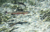 Lunker (Team Hymas) Tags: huge trout wizard fish hatchery sistersoregon salmon wildcaught farmraised