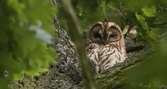 Tawny Owl-7126 (WendyCoops224) Tags: springwatch 100400mml 80d canon eos localbirdswildlife ©wendycooper tawny owl