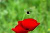 Envie de printemps (Ezzo33) Tags: france gironde nouvelleaquitaine bordeaux ezzo33 nammour ezzat sony rx10m3 parc jardin fleur fleurs flower flowers jaune yellow mauve rose pink rouge red bleu blue blanche white bourdon coquelicot floral