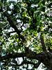20180430-018 (sulamith.sallmann) Tags: natur pflanzen baum blossom blühen blüte botanik frühjahr frühling laubbaum nature obstbaum pflanze plants tree weis white sulamithsallmann