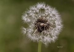 (Angela Vezina) Tags: flickr dandelion wishes green white princeedwardisland nature digital closeup