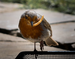 Robin with grub